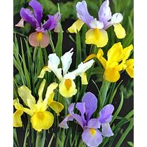 Iris Holandés En Mezcla De Colores 5 Bulbos.