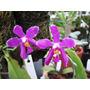 Venta De Orquídeas Phalaenopsis Pulchra