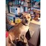 Perra Tipo Labrador Y Perro Mestizo Mediano En Adopción