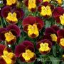 Semillas De Viola Cornuta Rojo Y Oro, Exóticas Semillas