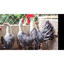 Ovos De Galinhas Ornamentais Campine Prata