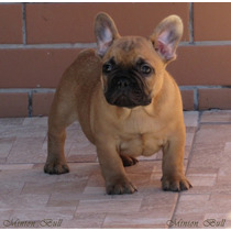 Bulldog Frances Macho Top Excelente Filhote E Pedigree