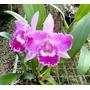 Muda Orquídea Blc. Petch Sayam X C. Gertrude Hauserman