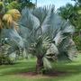 Muda Palmeira Azul (bismarckia Nobilis) 15 A 25cm 1 A 3 Fls.
