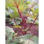 Quiabo Vermelho 15 Sementes Para Mudas