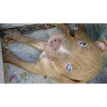 2 Machitos 1 Hembrita De 1 Mes Y 3 Semanas Bull Terrier