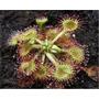 Drosera Rotundifolia Planta Carnívora Atrapamoscas Semillas
