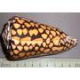 Caracol Concha Marino Conus Marmoreus Pez Pecera Baño
