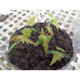 Acer Palmatum, 5 Brotes (plantines), Arce, San Martin.