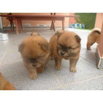Chow Chow Dourada Lindos Filhotes Machos Disponíveis