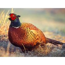 Guia Do Criador Digital - Como Criar Faisão Aves Ornamentais