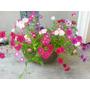 Sobres De Semillas De Flores De Niña Bonita