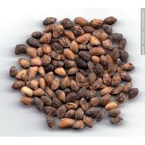 1 Kg. De Semillas De Pinus Cembroides - Piñon Mexicano C 952