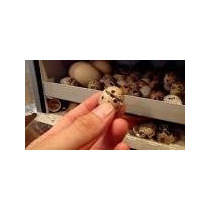 Huevo Fertil De Codorniz - Incubar - Paquete 96 Huevos