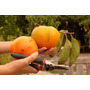 Caqui Gigante Fuyu Caqui Japonês Sementes Fruta Para Mudas