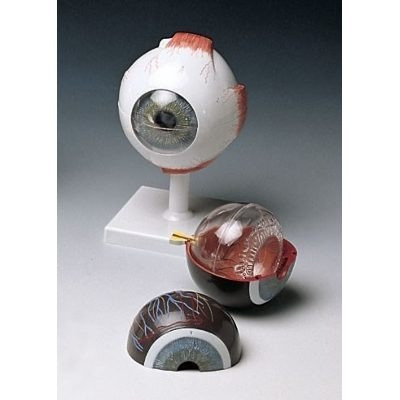 Ojo Humano Anatomico - $ 25.000 en Mercado Libre