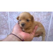 Hermoso Cachorro Chihuahua Mini Mini Macho Crema