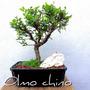 Bonsai Chamaeciparis Olmo Chino Celtis Naranjo Ombu N11p