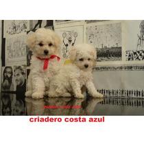 Caniches Toy Microtoy Criadero Costa Azul