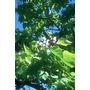 Catalpa Bignoniides Ideal Arbol De Vereda10-12cm Vivero Iris
