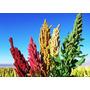Quinoa Arcoiris 10 Semillas Hortaliza Maceta Nmp Sdqro