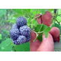 Frambuesa Azul Frambuesa De La India Plantines 30 Cm