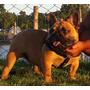 Bulldog Frances En Servicio De Stud - Red Fawn