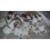 Cachorros Puros Bretón Cazadores Machos