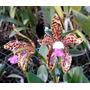 Orquídea Cattleya Guttata Coerulea `lauro´ X Coerulea `elédi