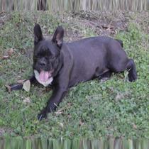 Cachorro De Bulldog Frances Hermoso Negro El Mas Lindo Fca