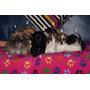 Lindos Cachorros Pequi Pooddle 6 Semanas Nacidos