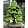 Bonsai Sagrado De Cedro Japonés 20 Unids Semillas