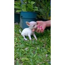 Chihuahua Macho Super Mini Pelo Corto, Crema Y Blanco
