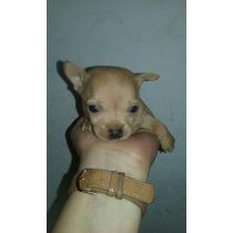 Chihuahuas Machos Mini Para Retirar Ya!!!