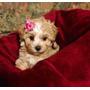 Maltipoo Cachorros Hibridos De Maltes Con Poodle Mini Toy