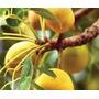 Promoção! 4 Sementes Da Real Amarula Para Cultivo De Mudas