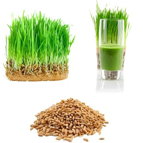 semillas de trigo comprar