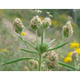 Planta Cenaless Plantago Psyllium Sementes Para Mudas