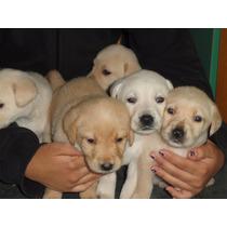 Cachorros De Labradores Avellaneda
