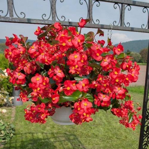 Sementes de beg nia big vermelha r 8 00 em mercado livre for Lista de plantas de sombra
