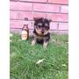 Hermoso Yorkie Terrier 3 Meses Todas Las Vacunas Plateado