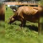 Vacas Lecheras Y Becerras En Gestacion