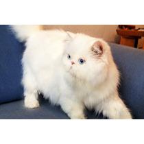 Gato Persa Blanco Busca Novia (gatitos Disponibles)