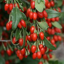 Goji Berries Variedade Superior Nq-1 Fruta Sementes P Mudas