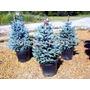 Pinheiro Azul - Abeto Picea Sementes Para Mudas E Bonsai