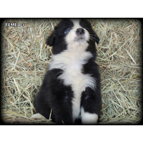 Filhote De Border Collie Com Pedigree Cbkc