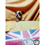 Espectaculares Bulldog Ingles Inscritos Y Microchipiados Kcc