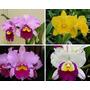 1 Orquídea Meristema Adulta Cattleya Blc Lc Escolha Na Foto
