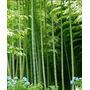 Sementes Bambu Gigante Bambusa Arundinacea Bamboo Chega 30m