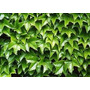 Ampelopsis Llamada Hiedra Japonesa Parra Virgen